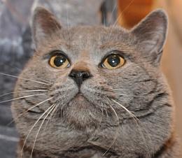 eyes blue british Orange shorthair