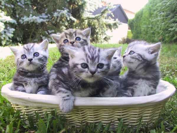 British Shorthair kittens silver tabby. Silver Bastet's cattery
