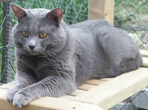 Chartreux male, Mices