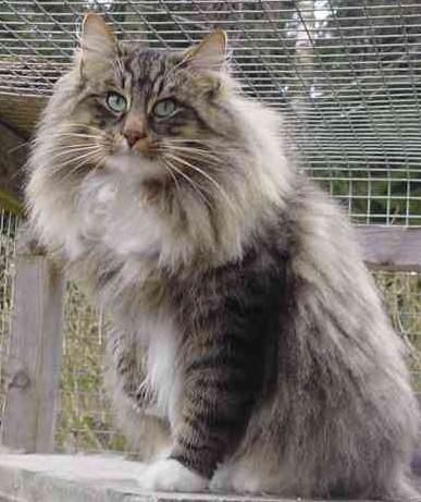 Norwegian Forest Cat t...